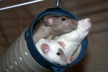 Секс крыс