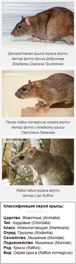 kartinka_rat2