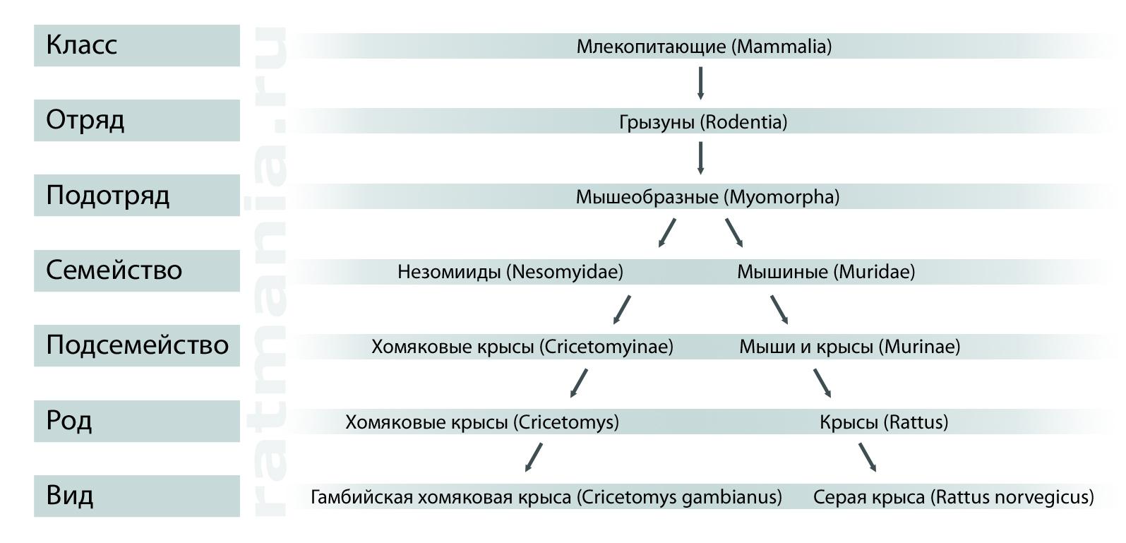 Систематика гамбийской и серой крыс