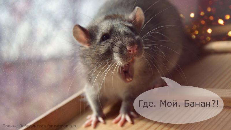 Крыса с открытым ртом